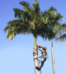 Sebastian Palm Tree Service Offers Palm Tree Triimming For
